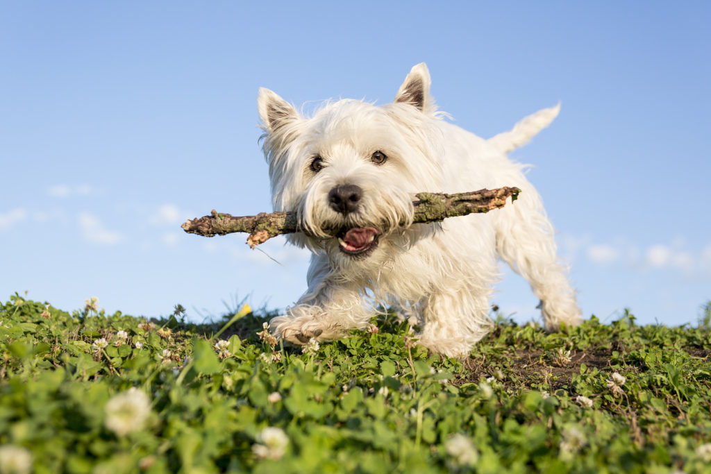 West Highland White Terrier Westie Caractere Sante Education