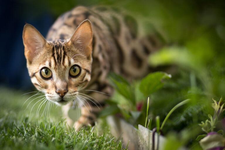 chat bengal dans l'herbe