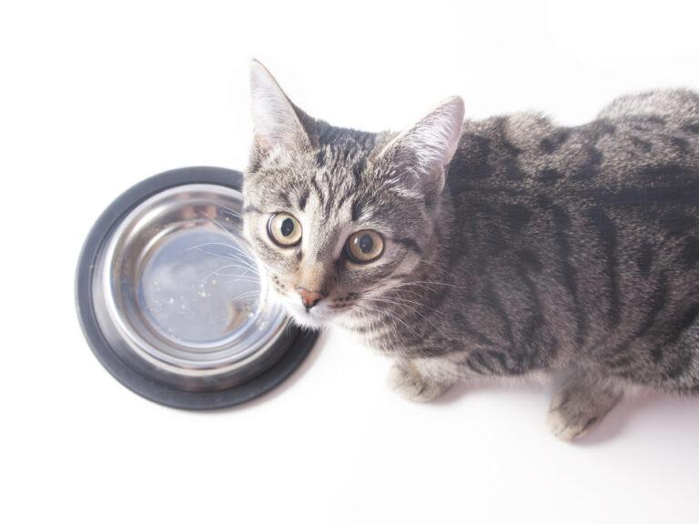 chat devant sa gamelle en inox