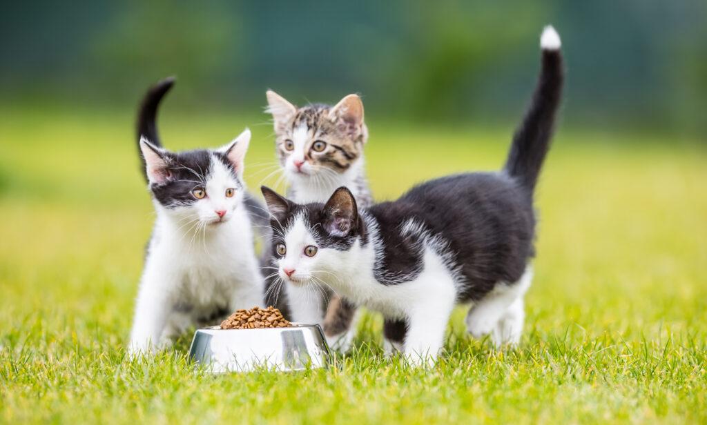 chatons avec un gamelle