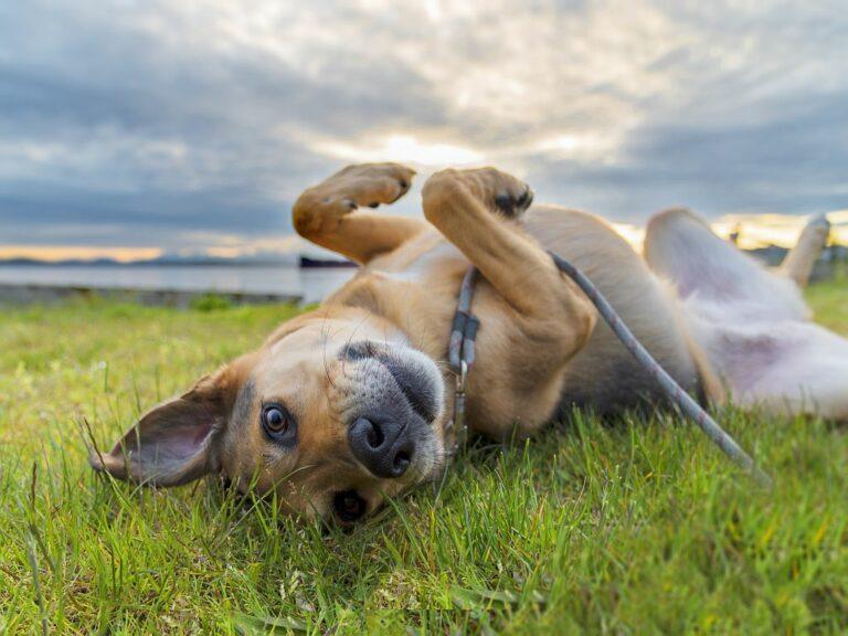 leishmaniose chez le chien