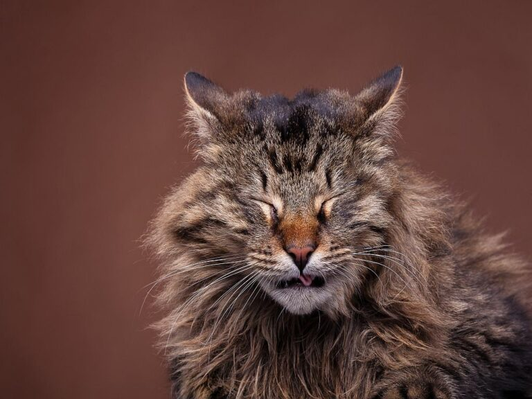un chat maine coon éternue
