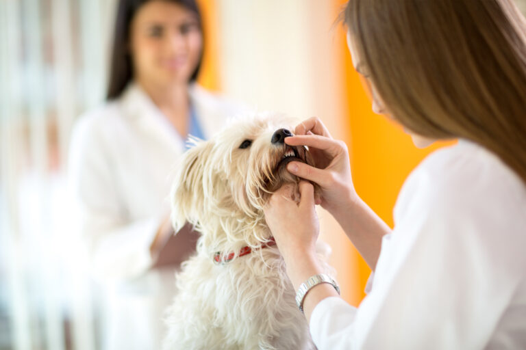 un petit chien blanc se fait examiner les dents chez le vétérinaire