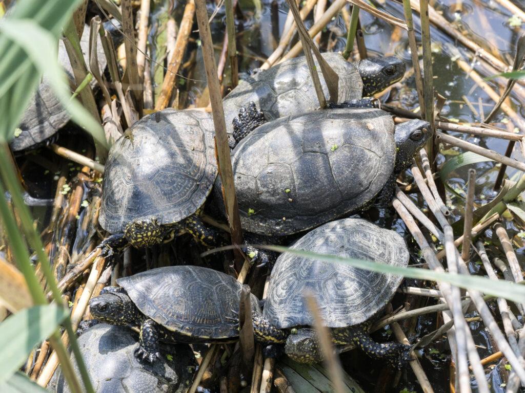 groupe de tortues cistudes
