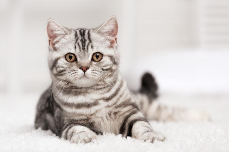 Chat gris tigré allongé sur le tapis