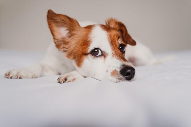 jack russell hund coronavirus