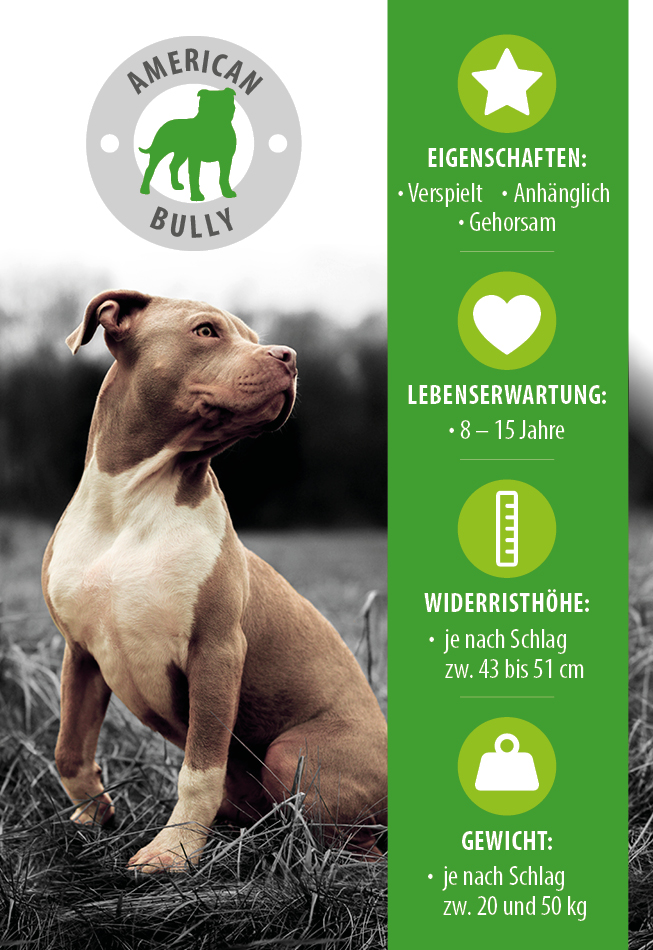 American Bully infographie
