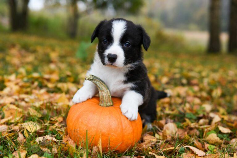 petit chien noir et blanc qui joue avec une citrouille dans la forêt