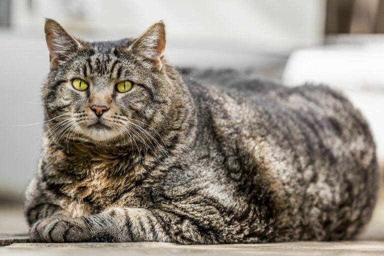 le surpoids est la cause principale de diabète chez le chat