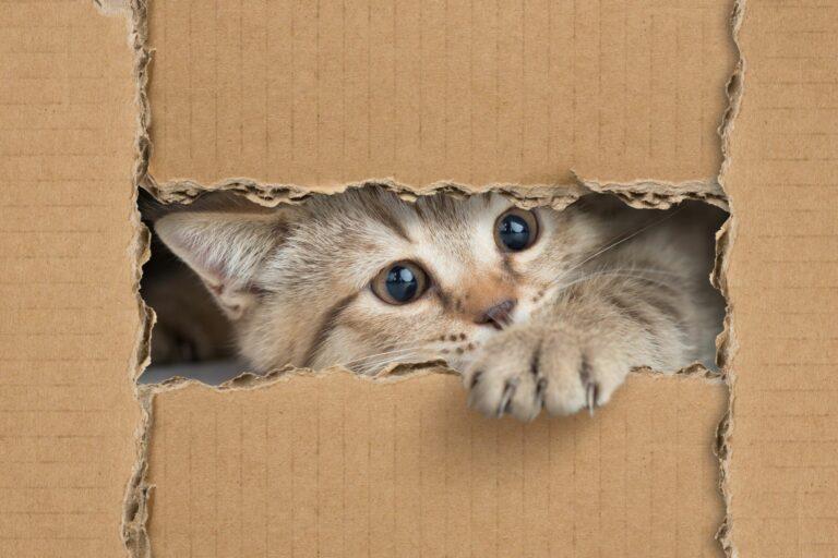 un petit chat est dans une boîte en carton et joue avec des jouets pour chat