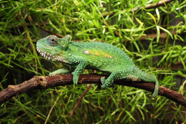 un caméléon vert sur une branche