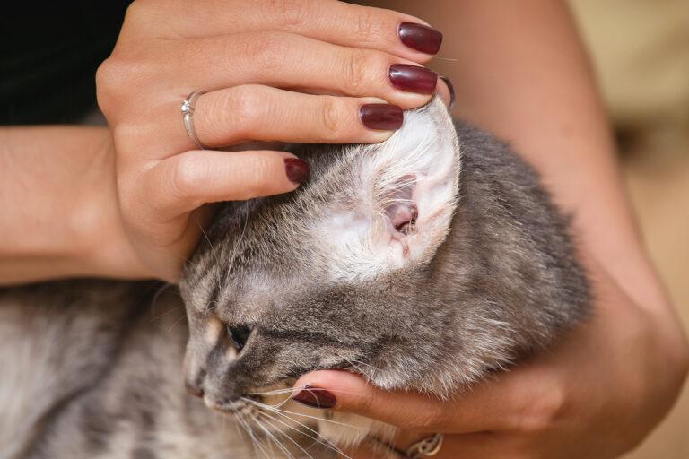 oreille d'un chat infesté d'acariens