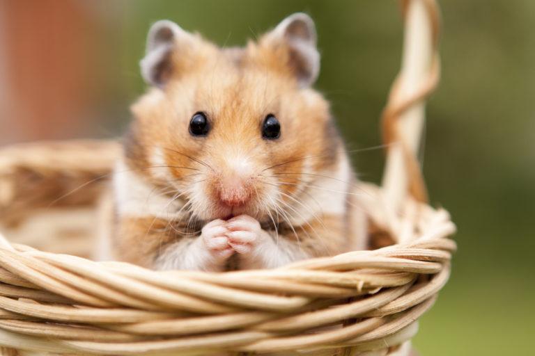 Petit hamster dans un panier