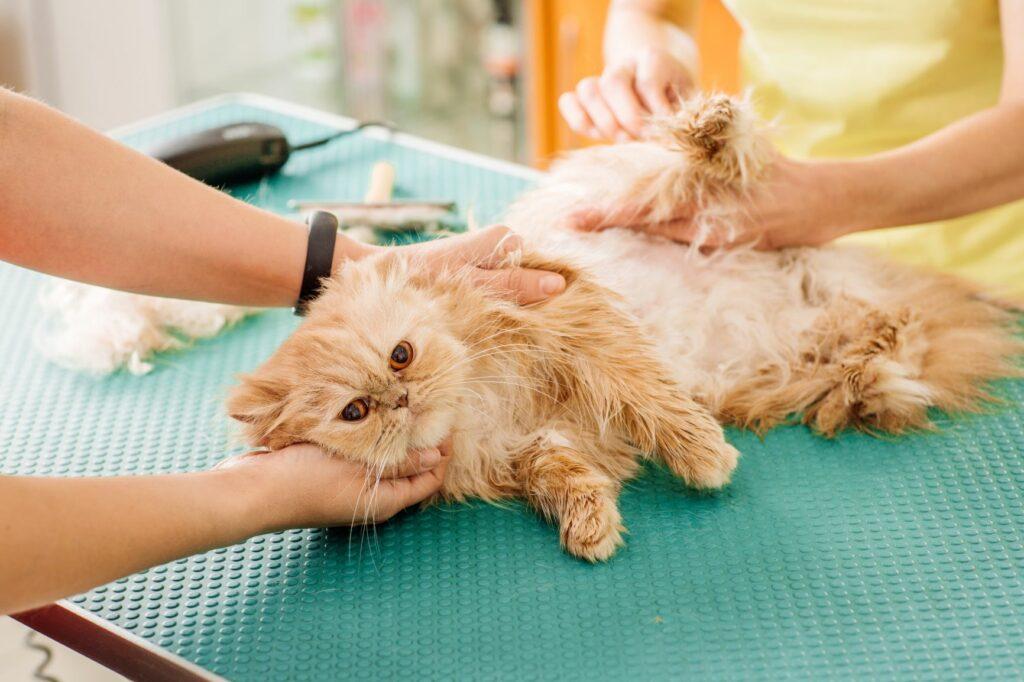 un chat se fait examiner le pelage chez un vétérinaire