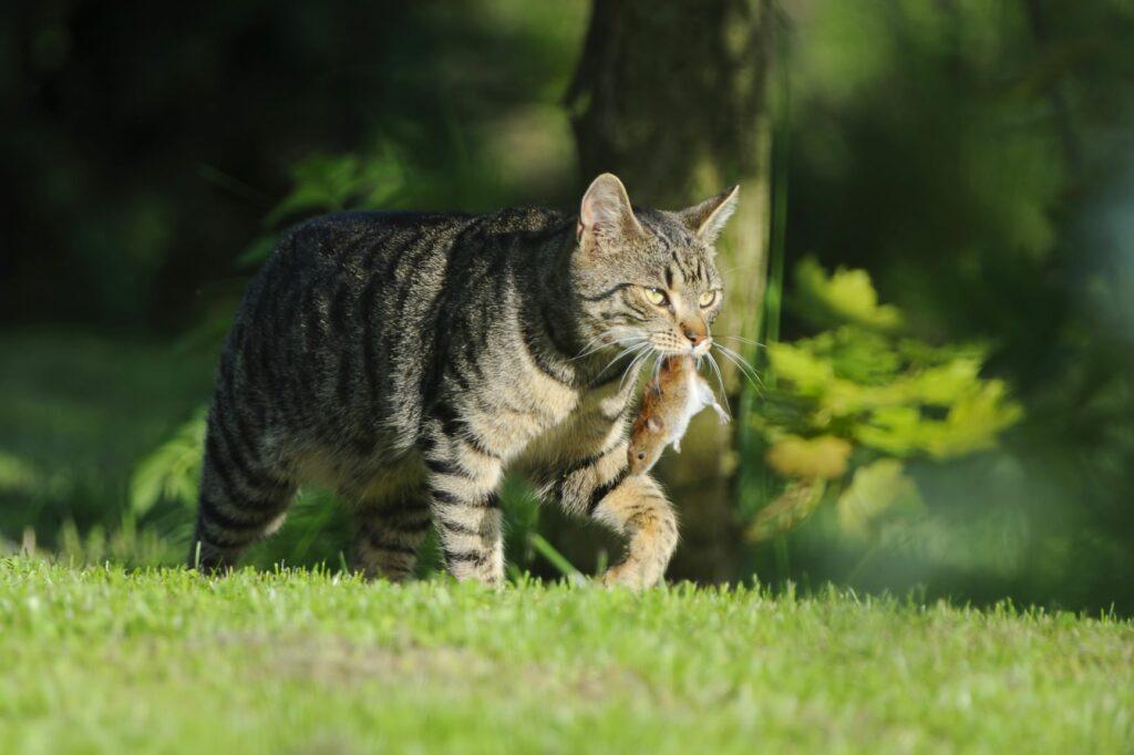 un chat d'extérieur peut ramener des souris