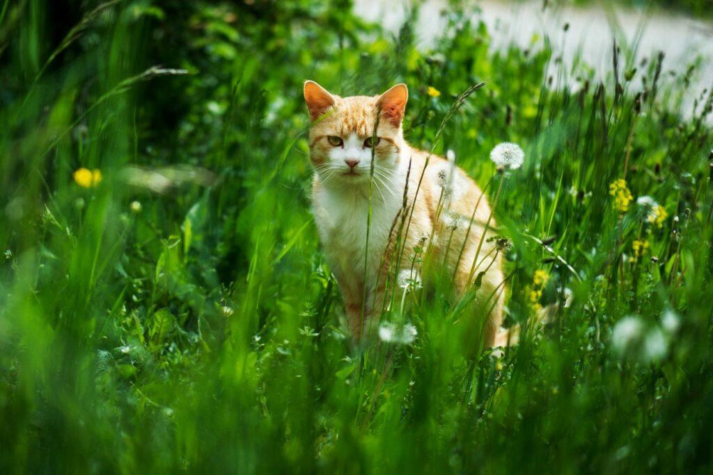 chat d'extérieur : précautions à prendre