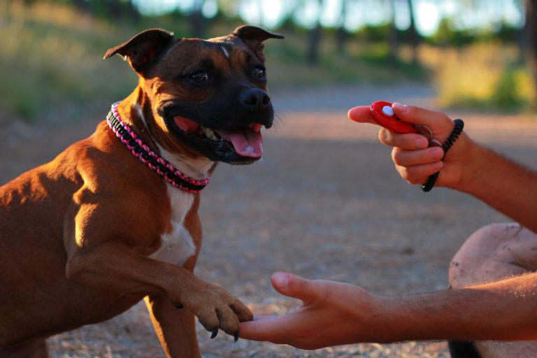 entrainement au clicker pour chien