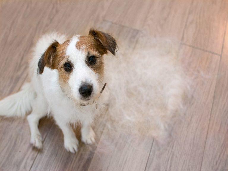 la perte de poils chez le chien