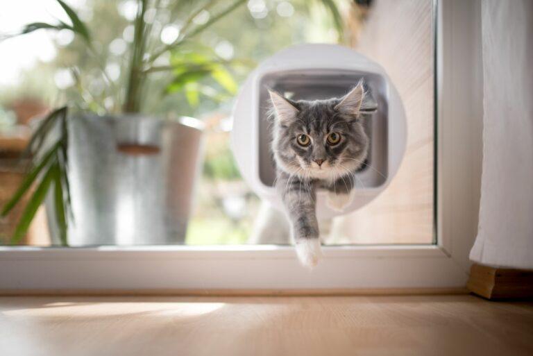 chat qui entre par la chatière