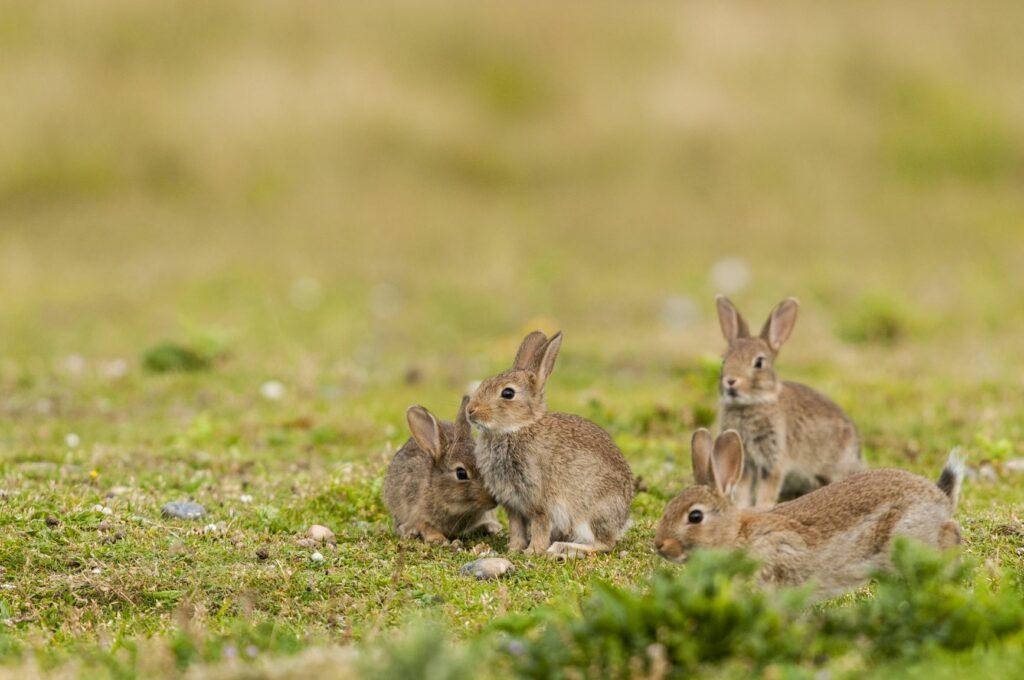 Contrairement au lièvre solitaire, le lapin est un animal très sociable.
