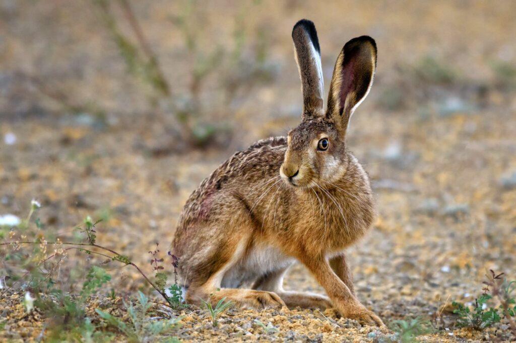 Grands et minces, les lièvres présentent en général des oreilles plus longues que celles des lapins.