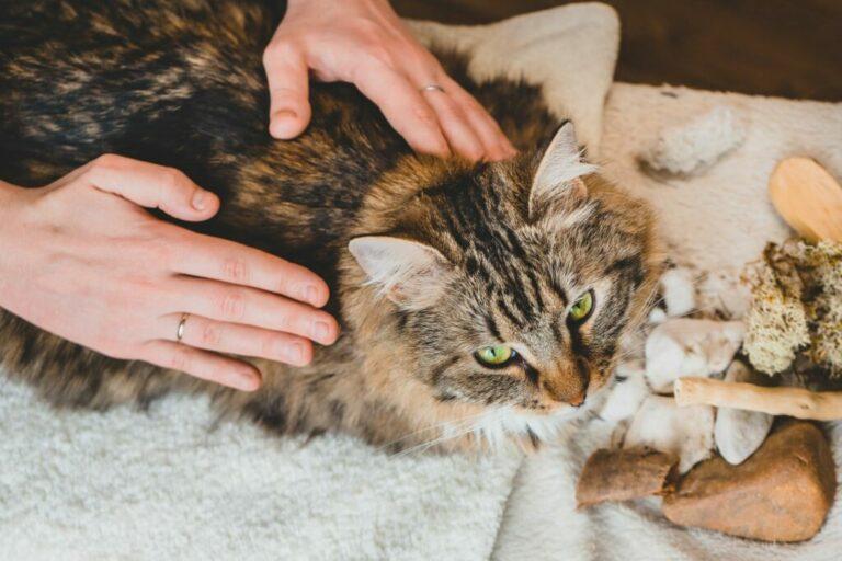 massage d'un chat