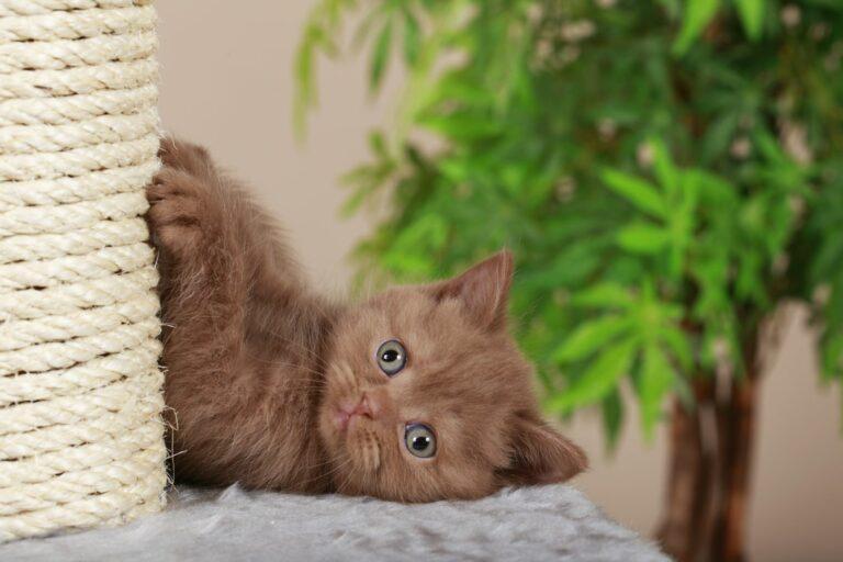 un chat brun se fait les griffes sur un arbre à chat