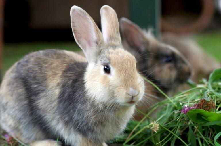 la stérilisation du lapin