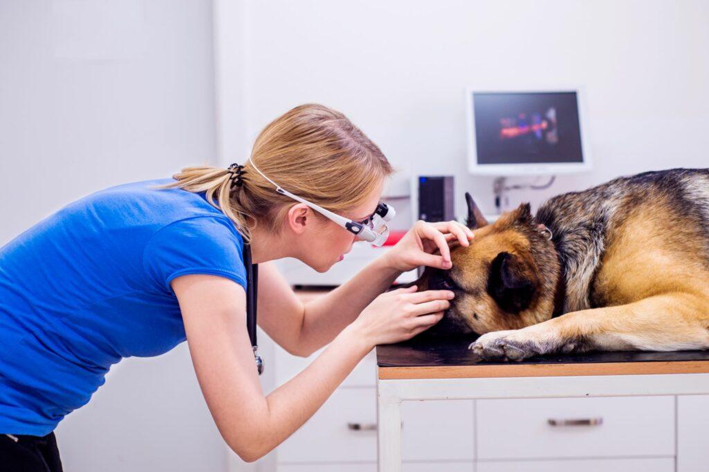 Un chien aveugle chez le vétérinaire