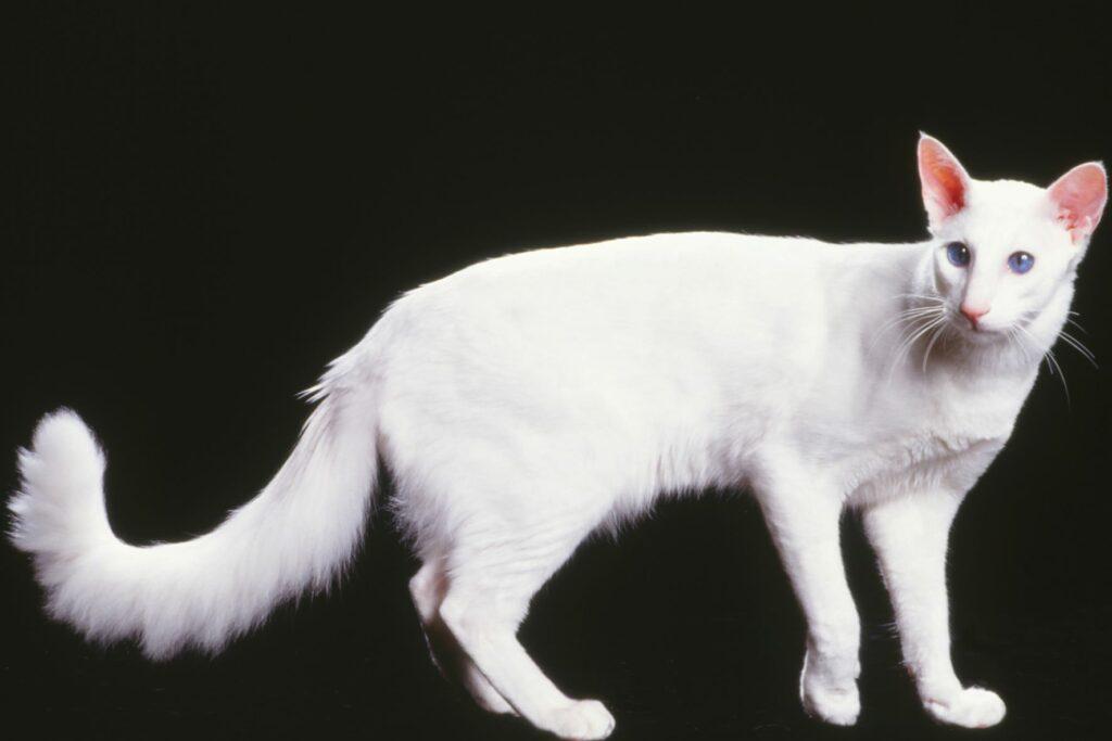 Un chat blanc javanais