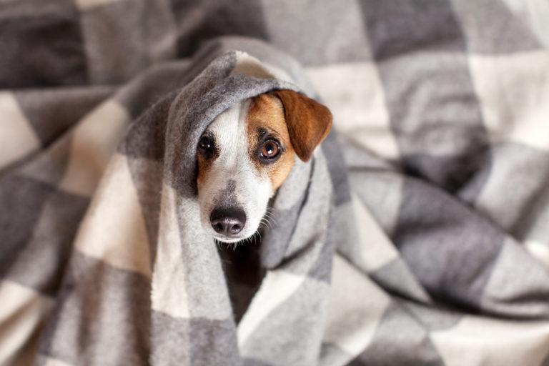 Un chien se met au chaud après un refroidissement