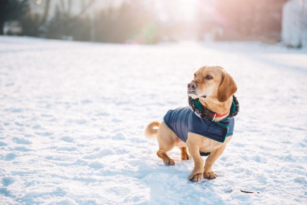 Un chien protégé contre les coups de froid