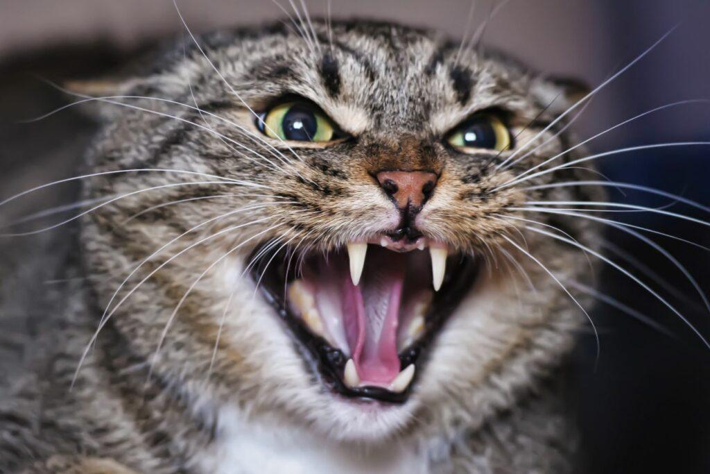 Un chat furieux miaule