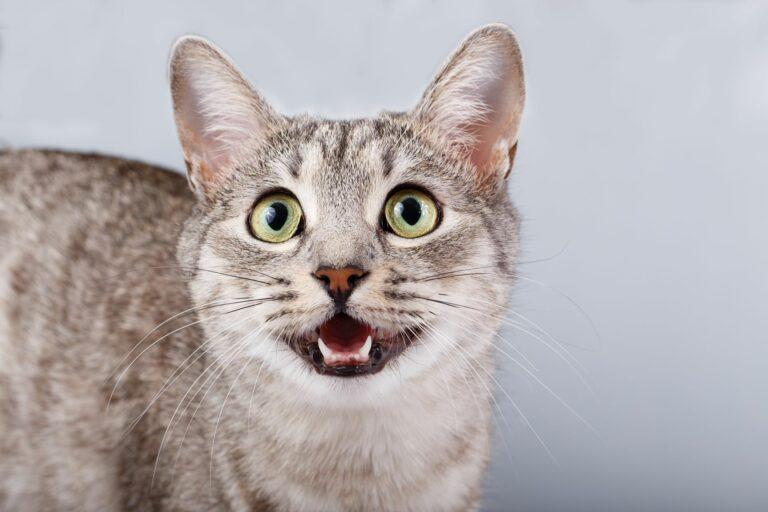 Un chat et ses miaulements